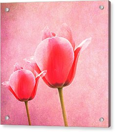 Pink Tulips Acrylic Print by Art Spectrum