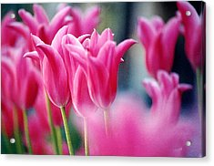Pink Tulips Acrylic Print by Susan Crossman Buscho