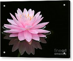 Pink Water Lily In A Dark Pond Acrylic Print
