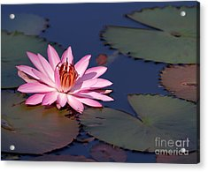 Pink Water Lily In The Spotlight Acrylic Print by Sabrina L Ryan