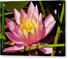 Pink Water Lily Acrylic Print by Sherman Perry