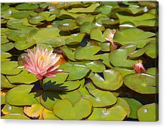 Pink Waterlilies In Koi Pond Acrylic Print by Cliff Wassmann
