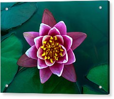 Rose Waterlily Acrylic Print by Allan Levin