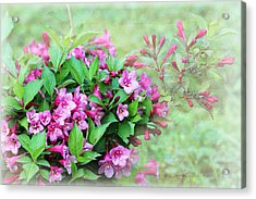 Acrylic Print featuring the photograph Pink Weigela by Trina  Ansel
