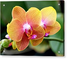Pink Yellow Orchid Acrylic Print by Rona Black