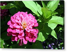 Acrylic Print featuring the photograph Pink Zinnia by Ellen Tully