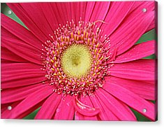 Pinks A Daisy Fireworks Acrylic Print by Sarah E Kohara