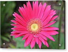 Pinks A Daisy Acrylic Print by Sarah E Kohara