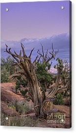 Pinon Pine Acrylic Print