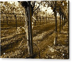 Acrylic Print featuring the photograph Pinot Growth by Paul Foutz