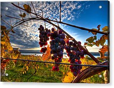 Pinot On The Vine Acrylic Print by Walter Arnold