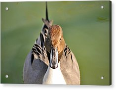 Pintail Drake  Acrylic Print by James Lewis