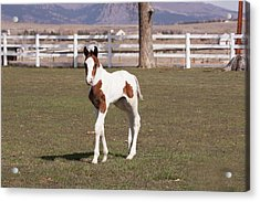 Pinto Filly In Pasture With White Fence Acrylic Print