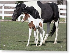 Pinto Oldenburg Warmblood Foal Or Filly Acrylic Print by Piperanne Worcester