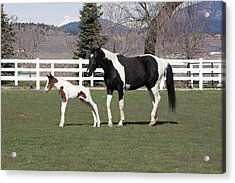 Pinto Oldenburg Warmblood Mare And Foal Acrylic Print by Piperanne Worcester