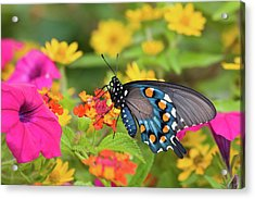 Pipevine Swallowtail Battus Philenor Acrylic Print by Panoramic Images