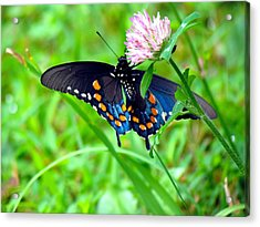 Pipevine Swallowtail Hanging On Acrylic Print