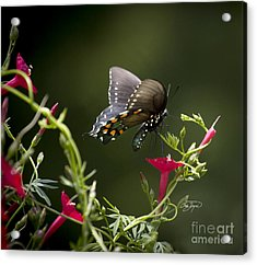 Pipevine Swallowtail  II Acrylic Print by Cris Hayes