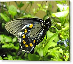 Pipevine Swallowtail Acrylic Print by Jennifer Wheatley Wolf