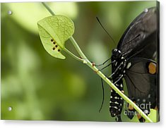 Acrylic Print featuring the photograph Pipevine Swallowtail Mother With Eggs by Meg Rousher