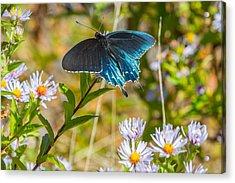 Pipevine Swallowtail On Asters Acrylic Print by John Haldane