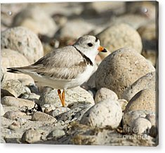 Piping Plover Adult Acrylic Print