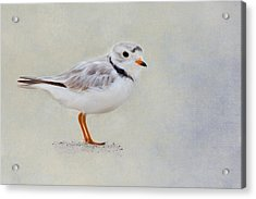 Piping Plover Acrylic Print by Bill Wakeley