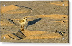 Piping Plover Chick Acrylic Print