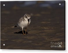 Piping Plover Photo Acrylic Print by Meg Rousher