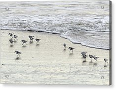 Piping Plovers At Water's Edge Acrylic Print