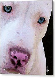 Pit Bull Art - Not A Fighter Acrylic Print