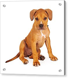 Pit Bull Puppy Fawn Color Acrylic Print by Susan Schmitz