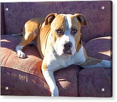Pitbull On A Couch Acrylic Print by Ritmo Boxer Designs