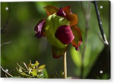 Pitcher Plant Flower 1 Acrylic Print by Greg Vizzi