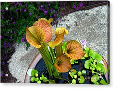 Acrylic Print featuring the photograph Pitcher Plants by Allen Carroll