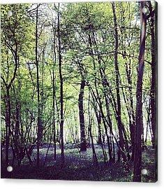 Pittswood Bluebells  Acrylic Print
