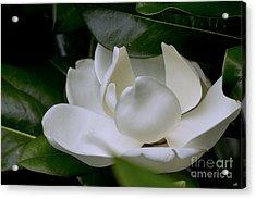 Plain Magnolia Acrylic Print