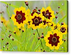 Plains Coreopsis Acrylic Print by Walter Herrit