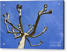 Plane Tree Acrylic Print by Bernard Jaubert