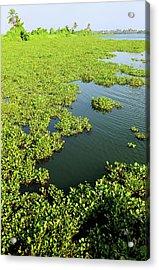 Plant Growth Along The Kumarakom Acrylic Print