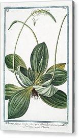 Plantago Alpina Acrylic Print by Rare Book Division/new York Public Library