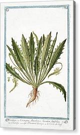 Plantago Coronopus Acrylic Print by Rare Book Division/new York Public Library