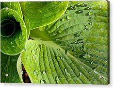 Plantain Lily Acrylic Print