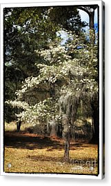 Plantation Tree Acrylic Print by John Rizzuto