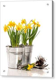 Planting Bulbs Acrylic Print by Amanda Elwell