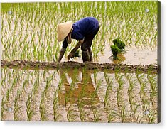 Planting Rice Acrylic Print by J L Woody Wooden