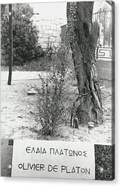Plato�s Tree Acrylic Print by Retro Images Archive