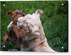 Playful Kids. Two Lion Cubs Acrylic Print