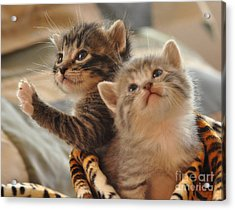 Playful Kittens Acrylic Print