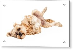 Playful Maltese And Poodle Mix Dog Laying Acrylic Print by Susan Schmitz